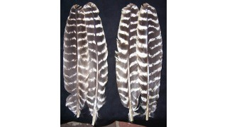 Natural Turkey Wing Secondary Feathers (18 ct) (SOLD OUT)