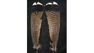 Natural Turkey Tail Feathers (18 ct) (SOLD OUT)